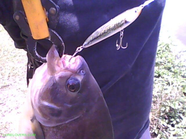 Alexandre brasil lures lurelovers australian fishing for Robalo fish in english
