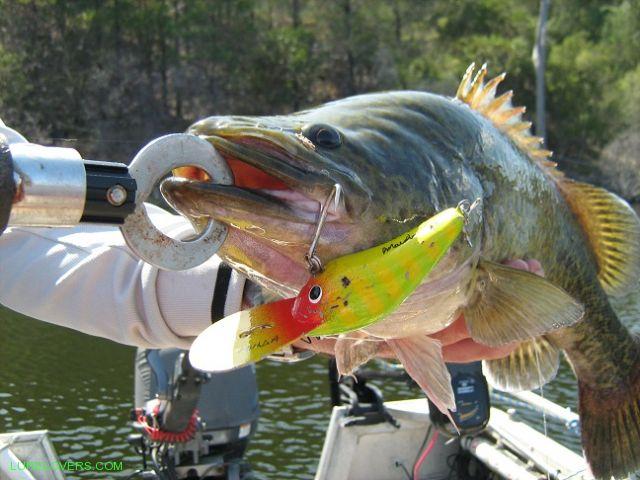 Murray Cod caught at Glenlyon Dam - LURELOVERS™ Australian